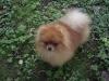 Карликовый шпиц щенки